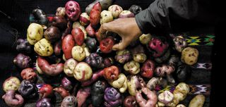Potatoes-International-Potato-Center-Peru-631
